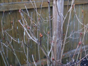 My budding lilac bush 1