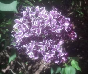 lilacs 1 alegnasoap_com